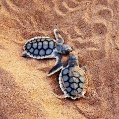 Meet the newest #turtle hatchlings on Bare Sand Island in @ausoutbacknt. These two were seen hatching and heading for the sea during a @seadarwin Turtle Tracks Tour this week.