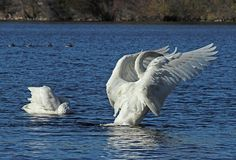Both Trumpeter and Tundra Swans migrate through Minnesota in search of open…