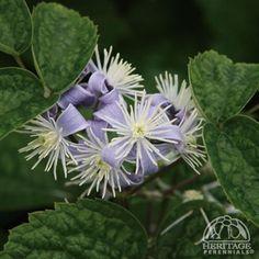 Clematis China Purple | Clematis × jouiniana 'Mrs Robert Brydon'