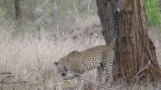 Leopard marking his territory and step on a thorn the try to bite the thorn out of his paw. Videos taken on my visits to Kruger National Park in South Africa Kruger National Park, National Parks, Cats, Animals, Gatos, Animales, Kitty Cats, Animaux, Animal Memes