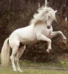 Beautiful horse called Lipizaner, his origin is in croatian town Lipik :)