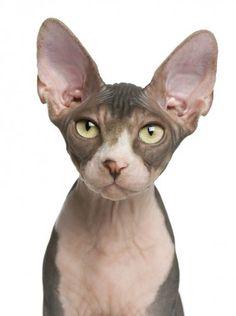 Gato Esfinge (aunque de egipcio tiene poco...) o Sphynx