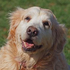 This is Honey - 12 yrs. She was surrendered to Animal Control. She is potty trained, has good house manners, walks well on leash, gets along with other dogs, cats & kids over age 6. She is a bit overweight & needs to lose 10 lbs. Honey has good energy for a lady of her age - she is playful & loves attention. Honey is looking for a forever home & is at  Delaware Valley Golden Retriever Rescue, PA.