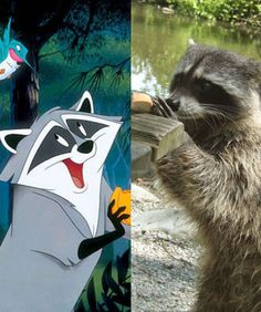 Disney may fudge the truth on some things in their films, but here's one reality they definitely got right: raccoons love their snacks. - Facebook: Meeko/Flickr User: ZeMoufette