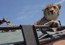 He Just Wanted To Film Cheetahs, But The Animals Had A Better Idea