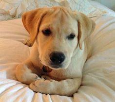 Riggins the Labrador Retriever puppy