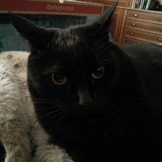 Sora después de haberse zampado una pizza. xD #gatonegro #gato #sora #gatanegra #blackcat #cat #catsofinstagram #lovelycat #gatosdeinstagram #gatosdelmundo #pelusa #pelusanegra #amordegato #catslove #catslover #catstagram #catexperience #gatovago #catoftheday #crazycatlady #caturdays365