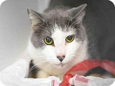 3/1/17 URGENT! Fort Lauderdale, FL - Domestic Mediumhair. Meet WHITE TOE, a cat for adoption. Broward County Animal Care & Adoption Pet ID #: 11049944-A1873791 Phone: (954) 359-1313 http://www.adoptapet.com/pet/17522964-fort-lauderdale-florida-cat