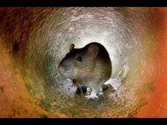 ▶ Biblical Alarm!!!! - GIANT RAT PLAGUE - 25 MILLION - IRAN CAPITAL Mar.7,2013 - YouTube