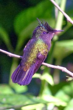 crested_hummingbird