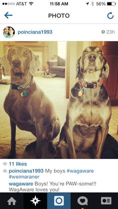 These beautiful weimaraners are our latest WagAware Ambassadors!  These beauties are Pawing It Forward in their WagAware Charms. By wearing them, they are raising awareness for dog rescue.  Join the Ruff-olution at www.WagAware.com!