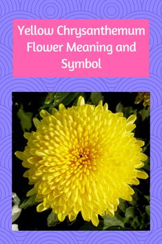 Reading the Yellow Chrysanthemum Flower Meaning and Symbol Chrysanthemum Meaning, Yellow Chrysanthemum, Flower Meanings, Special Flowers, Touch Of Gold, Flower Show, You Are Awesome, Amazing Flowers, Basic Colors