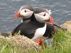 Puffins have arrived at the Cliffs of Moher to kick off their breeding season. Great to see them back: Sea Birds, Love Birds, Beautiful Birds, Pretty Birds, Pretty Horses, Baby Animals, Cute Animals, Funny Animals, List Of Birds