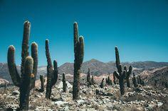 Pampa Cactus #22