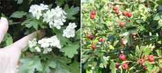 Common Hawthorn (Crataegus monogyna)