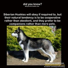 'Siberian Huskies are cooperative rather than obedient and prefer to be companions instead of pets.'