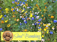 "Wonderful activity to welome SPRING - make your own Seed Bombs. Then plan where to ""bomb"" them come the warmer weather... my son can't wait to get distributing!!"