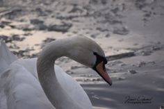 Swan On Ice Lake Winter Photography Winter by JEdmondPhotography