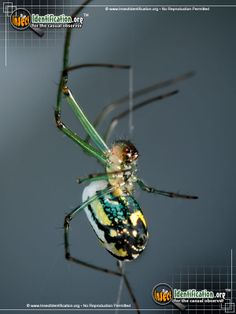 Picture of the Venusta Orchard Spider