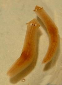 The adorably cross-eyed (actually eye spots) platyhelminthes