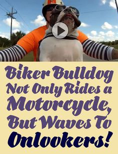 Impressive: Biker Bulldog not only rides a motorcycle, but waves to onlookers too!!