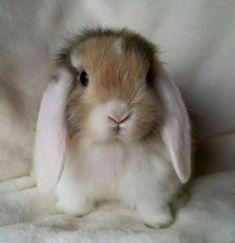 White Eared Harlequin Mini lop Buck - a.a the cutest bunny ever! Lop Bunnies, Cute Baby Bunnies, Funny Bunnies, Cute Baby Animals, Funny Animals, Bunny Bunny, Fluffy Bunny, Tier Fotos, Cute Creatures