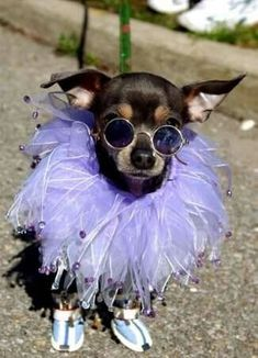 This chihuahua is feeling fabulous