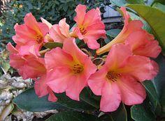Vireya Rhododendron 'Harold's Delight'   © K. & G. Hagan  Pink Delight x intranervatum            © K. & G. Hagan