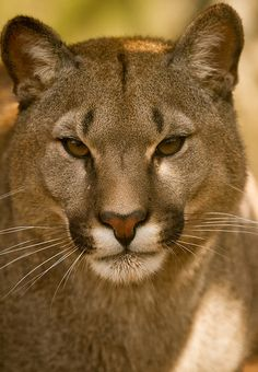 Puma <3 here's a kind of kitty that you don't want in your front yard EVER!