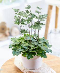 Buy house plants now Fern Doryopteris cordata Cool Plants, Green Plants, Tropical Plants, Buy Plants, House Plants Decor, Plant Decor, Indoor Garden, Indoor Plants, Indoor Ferns
