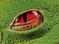 As100 melhores imagens sem Photoshop. Olhos escarlates de uma rã venenosa na Costa Rica.