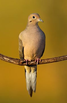The Mourning Dove (Zenaida marcoura) is one of the most abundant and widespread of all North American birds .