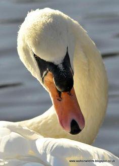 Mute Swan by Gary Jones