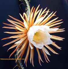 Selenicereus pteranthus, has probably the largest flowers in the cacti family. This one is 42cm across. (17 inches)