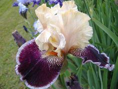 Výsledek obrázku pro liaison iris