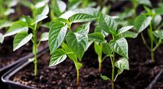 Planting peppers requires attention to details: pepper plants demand warm temperatures, even soil moisture, feeding, and support—literally. Pepper Plants, Stuffed Sweet Peppers, Harvest, Plant Leaves, Seeds, Flowers, Life, Gardening, Planting
