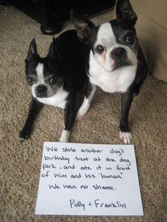 Bostons Dog Birthday Treat
