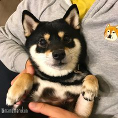 Cute Baby Dogs, Baby Puppies, Cute Puppies, Famous Dogs, Puppy Pictures, Cute Funny Animals, Shiba Inu, Beautiful Dogs, Animals And Pets