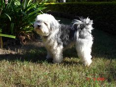 Lowchen make superb apartment residents, however they may be prone to excessive barking.