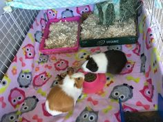 Top 5 pro tips to keep guinea pig fleece cages clean! guinea pig fleece bedding tips<br> Here are our top 5 pro tips to keep your guinea pig fleece bedding smelling clean and fresh. Diy Guinea Pig Cage, Guinea Pig House, Pet Guinea Pigs, Guinea Pig Care, Guinnea Pig, Guinea Pig Accessories, Skinny Pig, Guinea Pig Bedding, Rabbit Cages