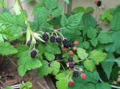 Wild blackberries just starting to ripen