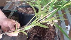 Aprenda no passo a passo completo em Vídeo Como Multiplicar Orquídea Arundina (Orquídea Bambu) É uma orquídea terrestre, muito utilizada em jardinagem por se adaptar bem a locais ensolarados e por sua floração ser contínua durante o ano todo. Formam toceiras e ficam muito bonitas quando plantadas junto a muros. Formam uma espécie de cerca-viva.