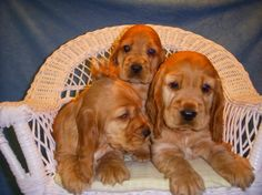 English Cocker Spaniel Pups ~ Classic Cocker Look & Trim Cute Puppies Images, Puppy Images, Cute Dogs, Baby Puppies, Dogs And Puppies, English Cocker Spaniel Puppies, Cockerspaniel, Australian Shepherd Dogs, Dog Games