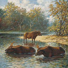 European Water Buffalo (Bubalus murrensis)