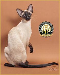 Siamese Photos, Top Cats 2012-13