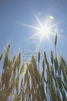 green wheat field, central Alberta
