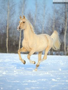 Palomino horse running in the snow - Winter 2012-2013 - Equine Photography by Ekaterina Druz