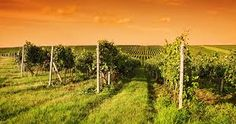 Find Evening View Vineyards Moravia stock images in HD and millions of other royalty-free stock photos, illustrations and vectors in the Shutterstock collection. Thousands of new, high-quality pictures added every day. Cocktail Menu, Vineyard, Photo Editing, Royalty Free Stock Photos, Cocktails, Nyc, Wine, Pictures, Outdoor