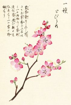 """Cherry Blossom"" Honzo Zufu [Illustrated manual of medicinal plants] by Kan'en Iwasaki (1786-1842). Wood block print and manuscript on paper. Japan, 1828 © The Trustees of the Royal Botanic Gardens, Kew"