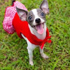 Bonnet Corazón the Chihuahua